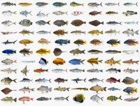 fish wrasse koi 3D