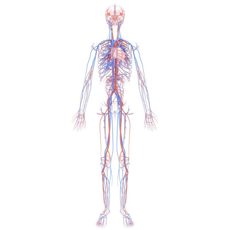 anatomically cardiovascular circulatory complete 3D model