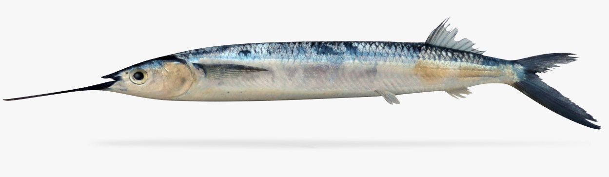 longfin halfbeak model
