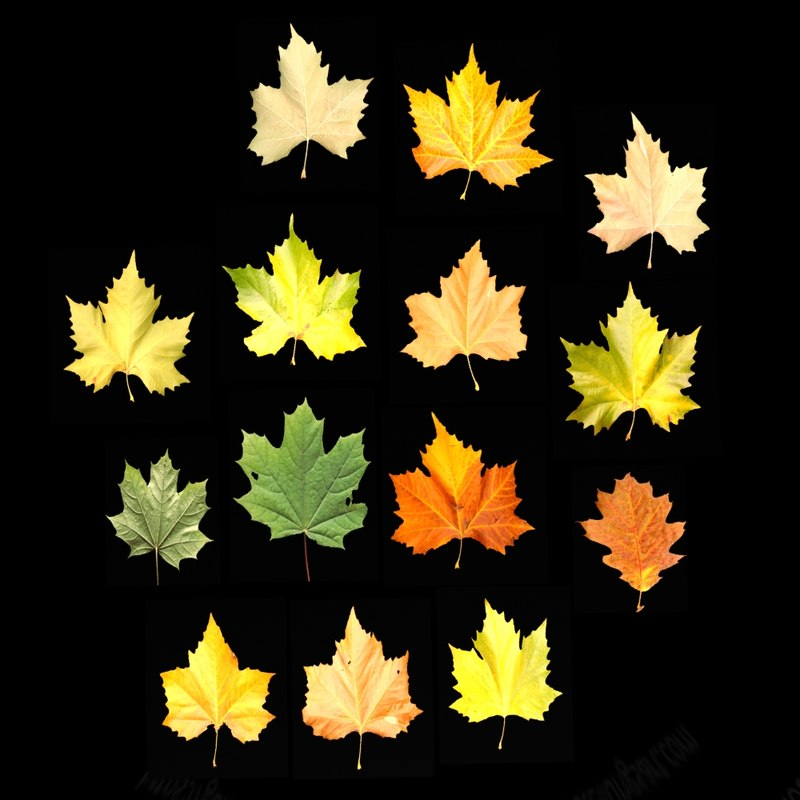 leaves model