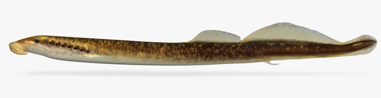 3D model lampetra aepyptera brook lamprey