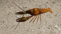 crayfish fish 3D