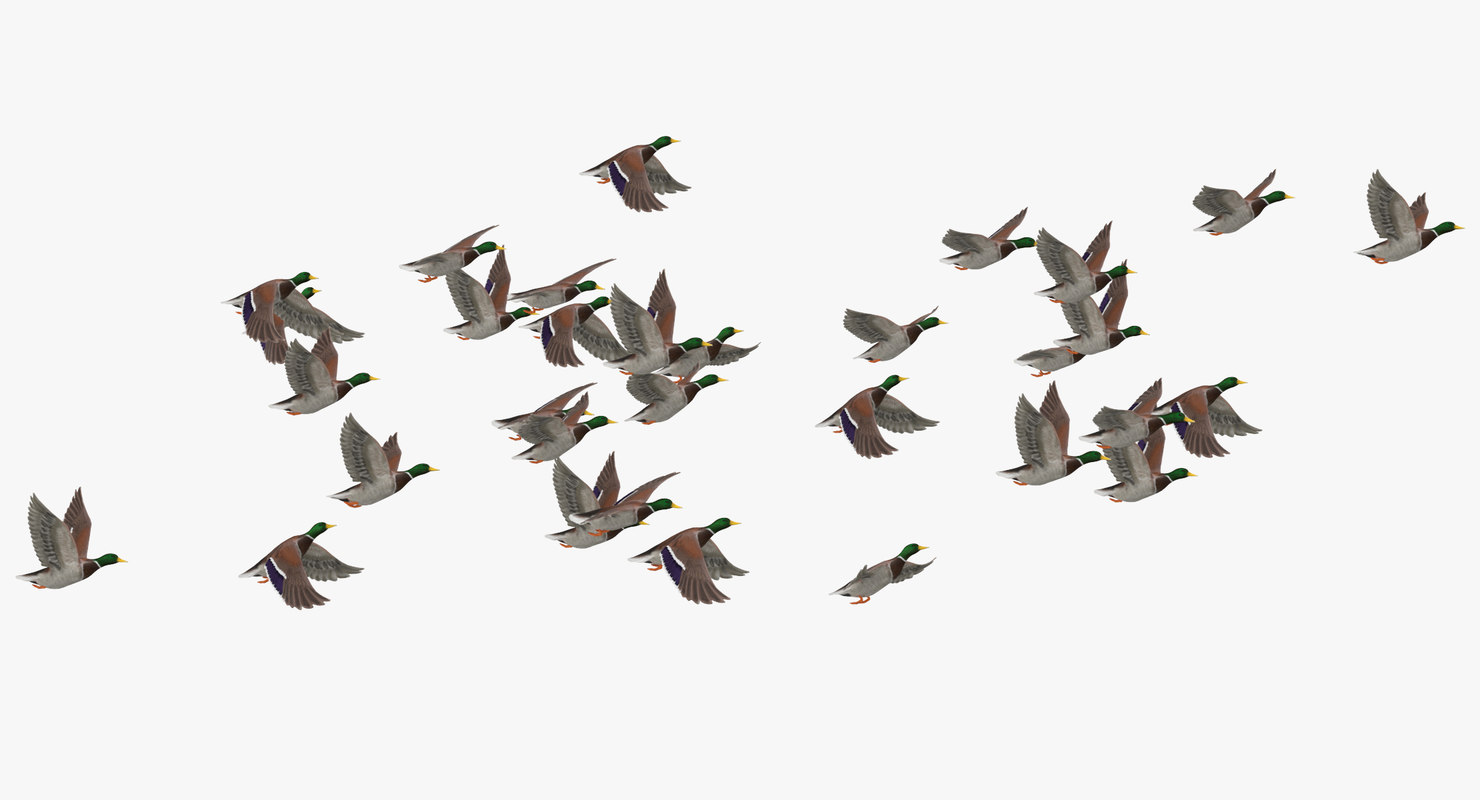 medium flock ducks flying 3D