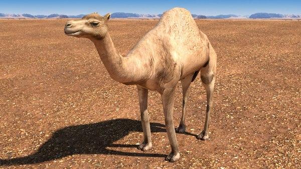 arabian camel 3D model