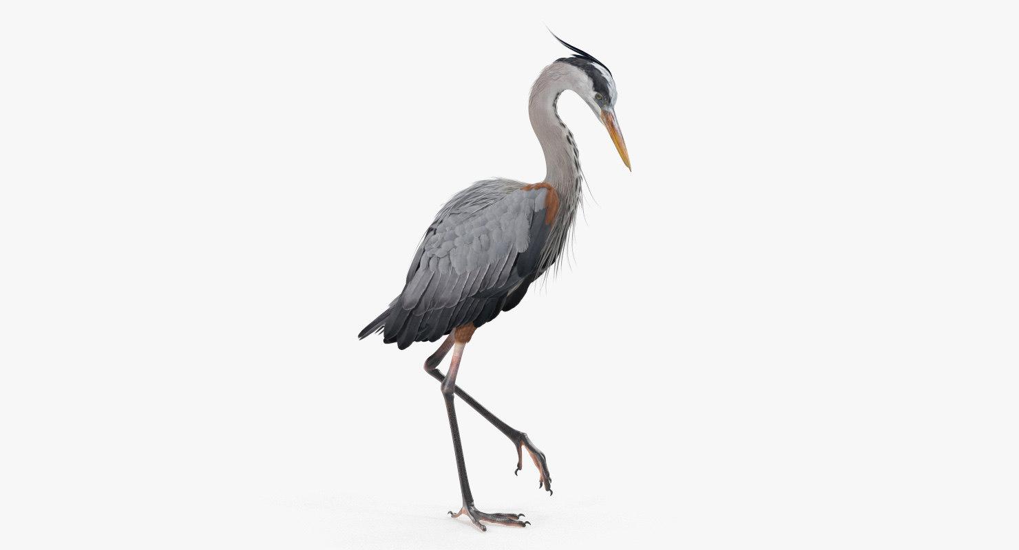 grey heron standing leg model