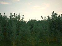 Bamboo Chusquea culeou