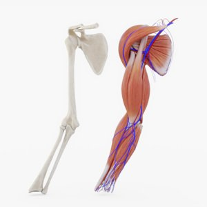 3D arm muscle bones veins