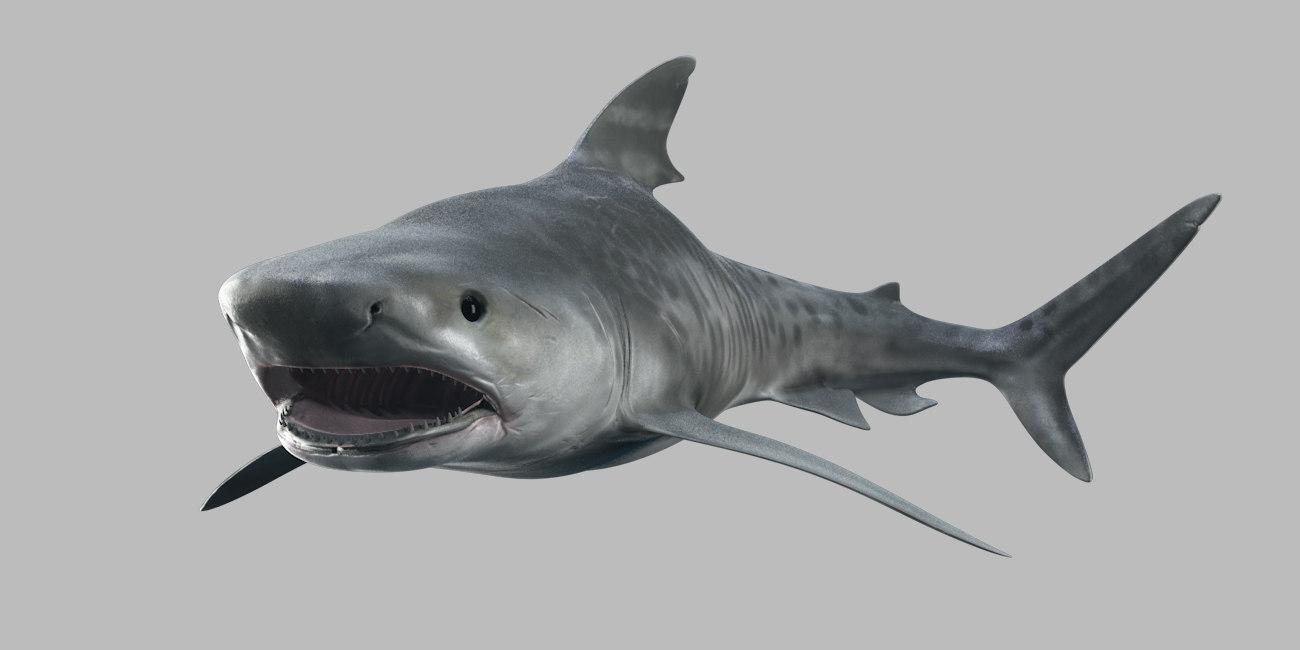 tiger shark 3D
