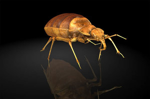cimicidae bedbug 3D model