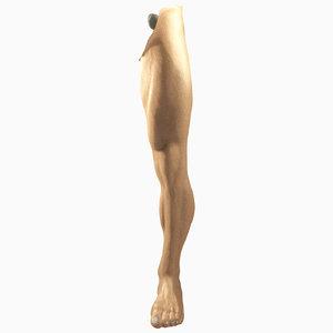 3D male leg
