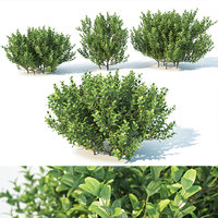 Buxus Sempervirens #3. Three sizes