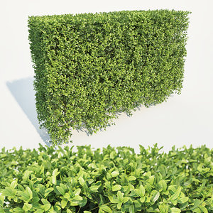 3D hedge buxus sempervirens