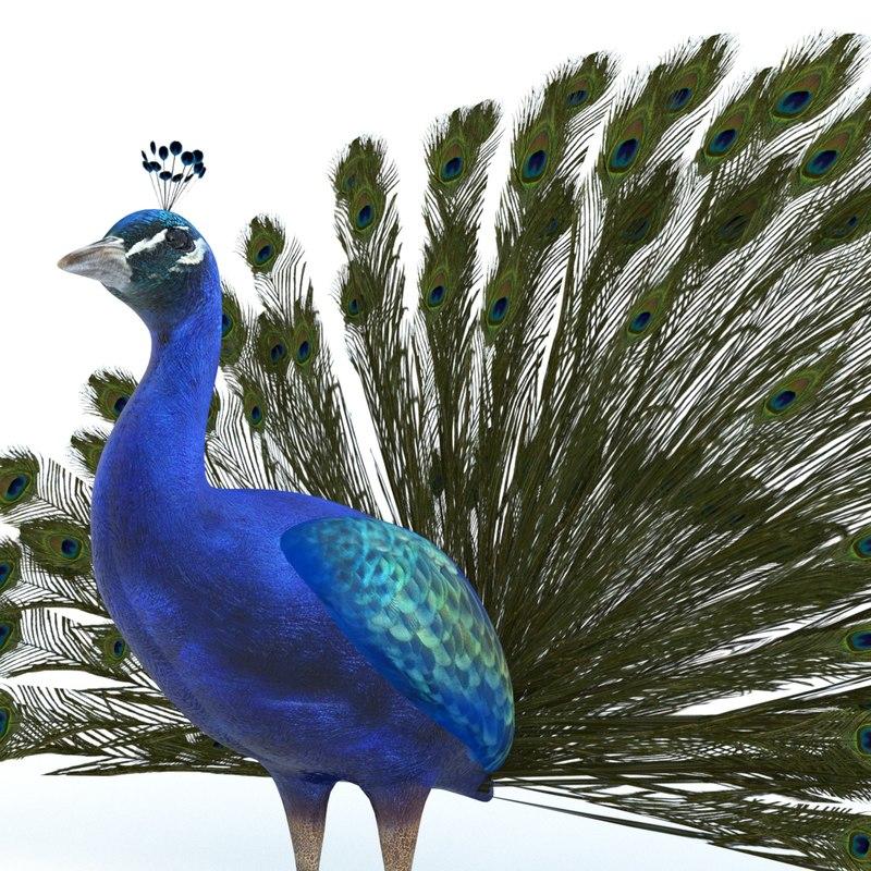 peacock model