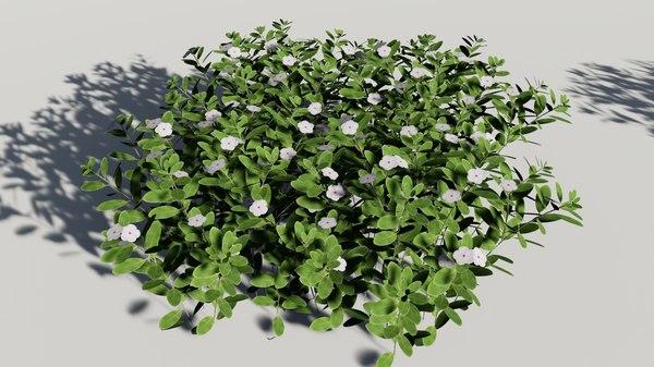 catharanthus roseus madagascar periwinkle 3D model