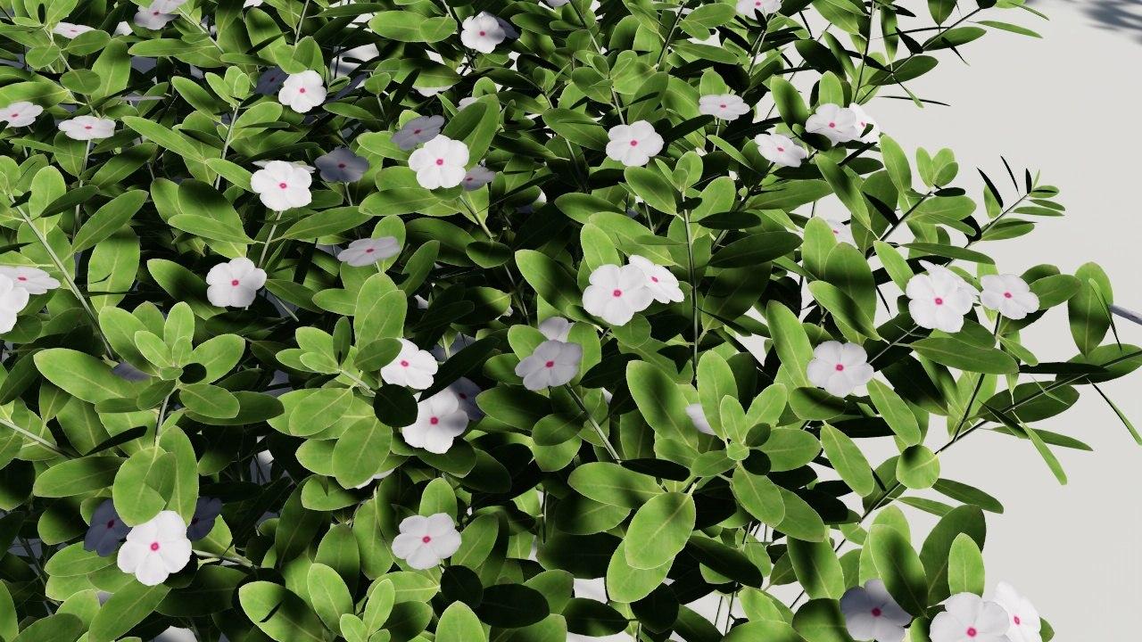 Catharanthus roseus madagascar periwinkle 3D model - TurboSquid 1315338