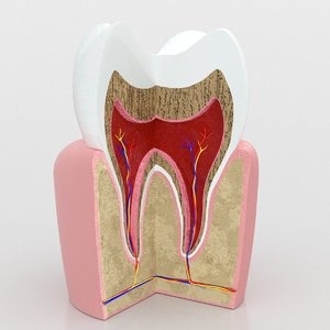 human tooth anatomy 3D model