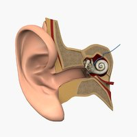 3D ear medical outer model