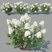 3D hydrangea paniculata