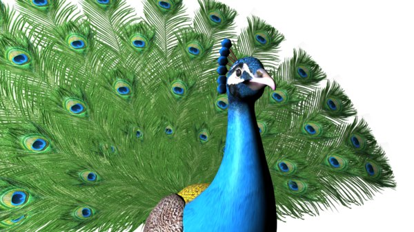 peacock rig 3D