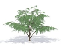 albizia tree branch 3D model