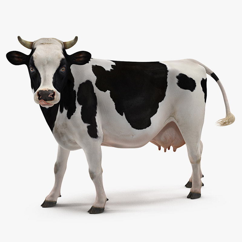 dairy cow rigged model