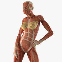 3D model female muscular anatomy rigged