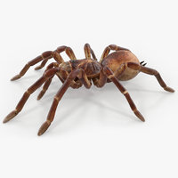 3D model goliath birdeater rigged