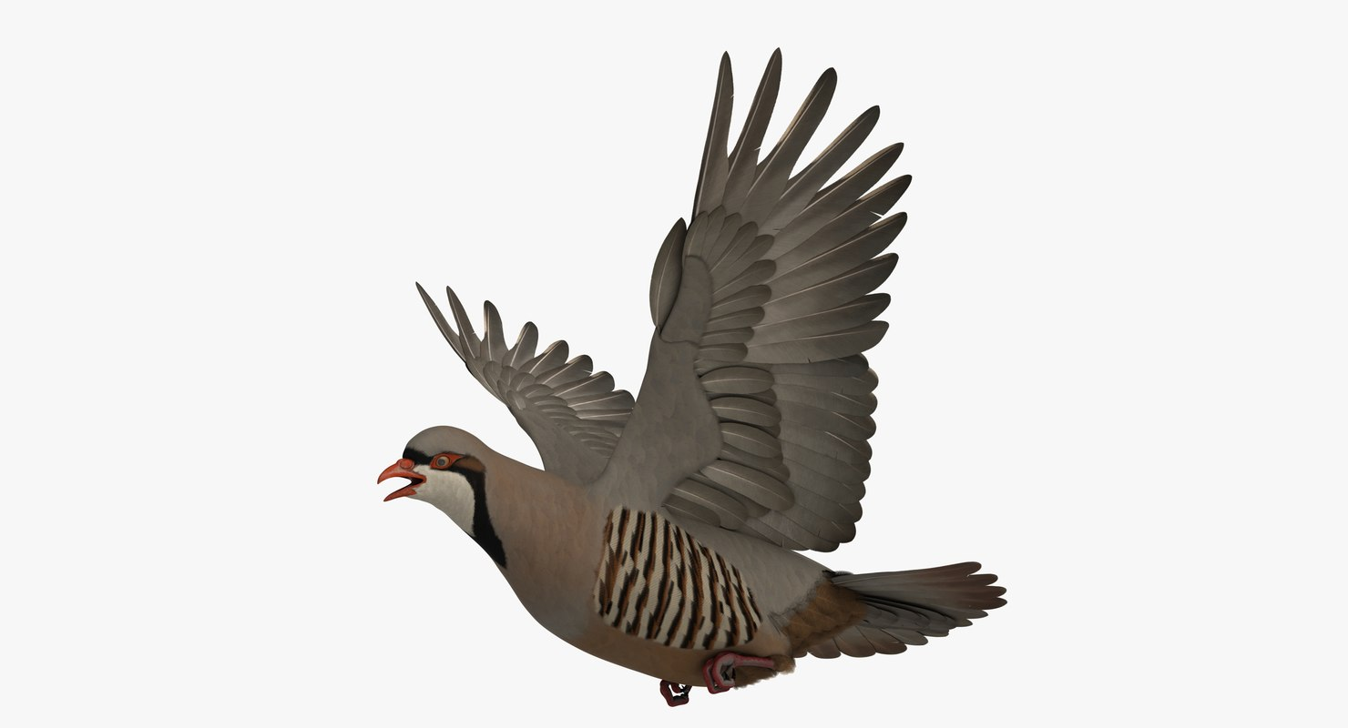 3D model rigged chukar partridge