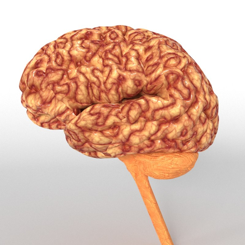 3D anatomy human brain nervous - TurboSquid 1318640