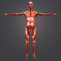 body natural muscles 3D model