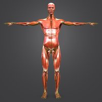 3D body natural muscles nerves