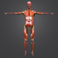 Muscles and AVN and Lymphnodes with Natural body