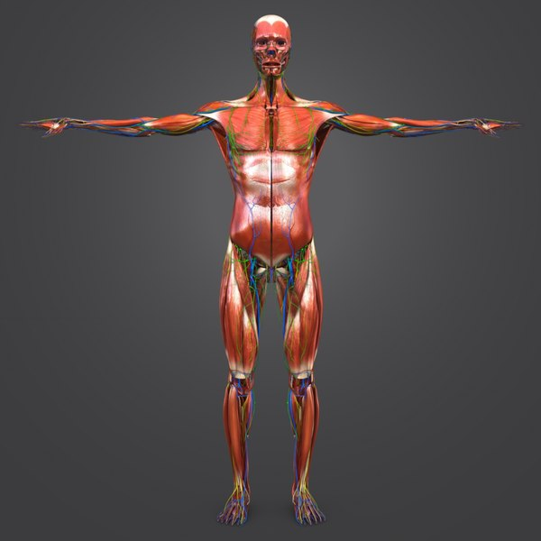 3D body natural muscles lymph