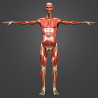 Muscles, skeleton and nerves with natural body