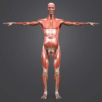3D body muscles skeleton