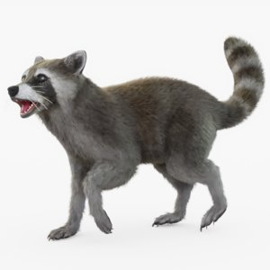 3D rigged raccoon model