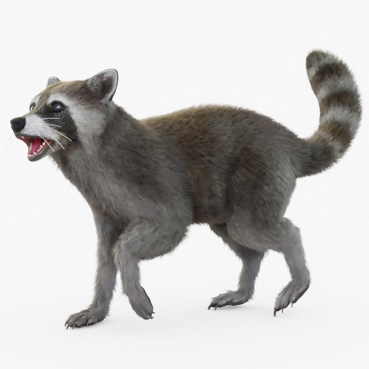 3D rigged raccoon model
