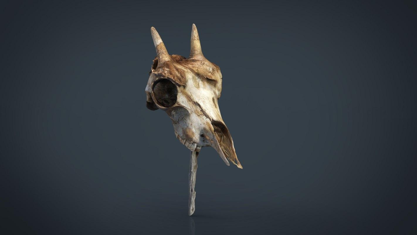 mountain goat skull model