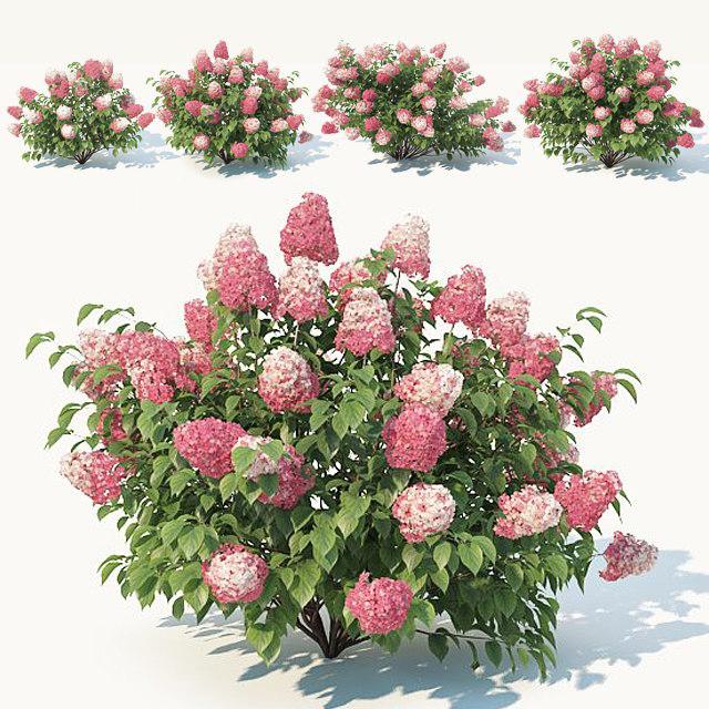 hydrangea paniculata 3D model