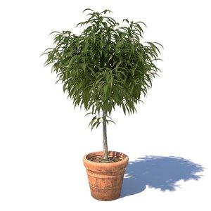 young mango tree 3D model