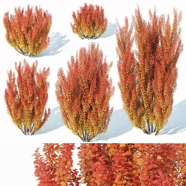 berberis thunbergii powwow model