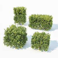3D sempervirens buxus cube model