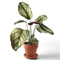 calathea ornata sanderiana pot 3D model