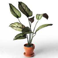 3D calathea ornata sanderiana pot