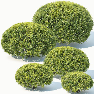 3D sempervirens buxus spherical