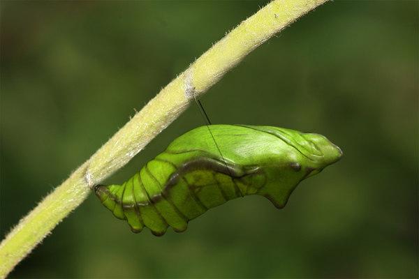 3D model chrysalis