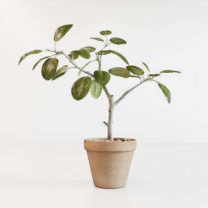 corona ficus altissima 3D