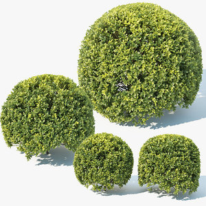 3D model sempervirens buxus spherical