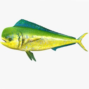 dolphinfish male 3D
