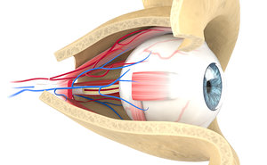 3D eye anatomy